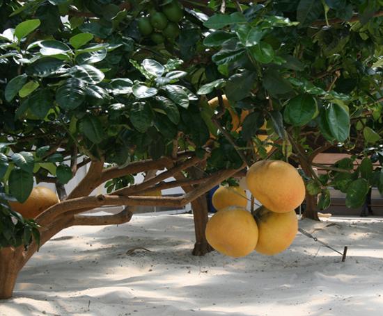 lemons at Epcot