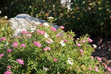 spirea shirobana in bloom