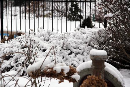 Goldmound spirea in snow