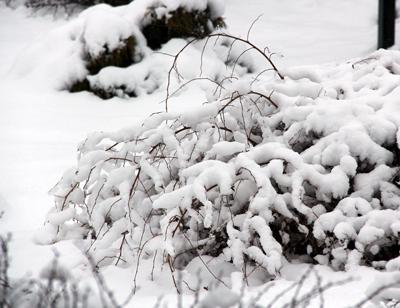 Stephanandra incisa crispa in snow