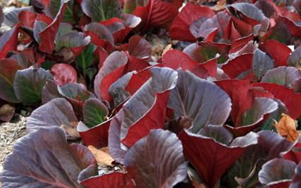 Berbegia foliage in fall