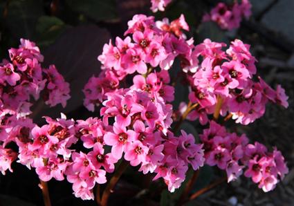 Pink bergenia blooms.