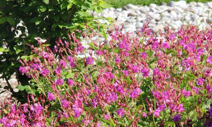 Geranium macrorrhizum blooms