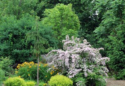 Kolkwitzia in bloom