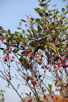 Red chokeberry aronia brilliantissima
