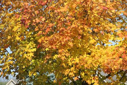 yellow foliage sugar maple